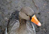 Grey goose portrait — Stock Photo