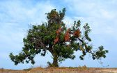 Carob tree — Stock Photo