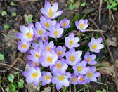 Wild purple crocus — Stock fotografie