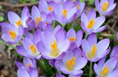 Wild purple crocus — Foto Stock