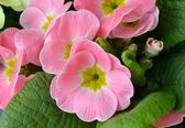 Detail of primula flowers — Foto Stock