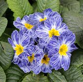 Detail of primula flowers — Stock Photo