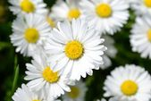 Wild chamomile flowers — Stock Photo