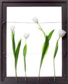 White Tulip Flowers in Grey Frame — Stock Photo