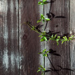Stock Photo: Green Sprig on Wood Fence Plank with Knots