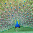 Stock Photo: A Dancing Peacock