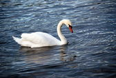 Mute Swan (Cygnus olor) — Stock Photo