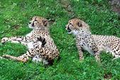 Twee speelse cheetahs (rugby — Stockfoto