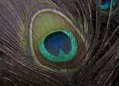 Close-up of isolated Peacock feather — Stock Photo
