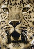 Dywan zawieszki z twarzy gepard — Zdjęcie stockowe