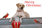 Christmas Card with two cardinal birds and a dog with gifts — Stock Photo