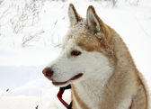 Siberian Husky dog — Stockfoto
