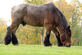 Draft horse — Stockfoto