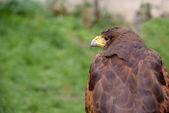 老鹰,配置文件视图 — 图库照片