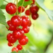 Bunch of red currants — Stock Photo