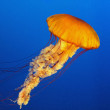 Jellyfish — Stock Photo