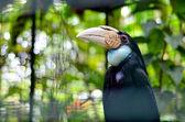 A female hornbill . — Foto Stock