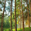 The Misty pine forest at North of Thailand — Stockfoto
