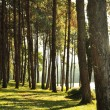 Image of Misty pine forest at North of Thailand — Stock Photo