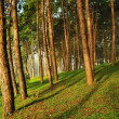 The Misty pine forest at North of Thailand — Stock Photo