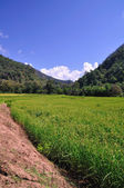 Image of rice Field, North of Thailand — Stock Photo