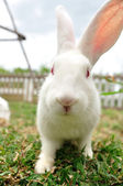 White rabbit on the green yard — Stock Photo