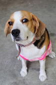 Portrait s beagle puppy — Stock Photo