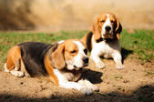 Beagles sunbathe on the yard and looking for something — Stock Photo