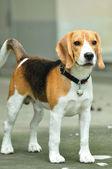 Beagle de pie — Foto de Stock