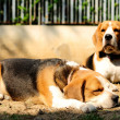 Beagles sunbathe on the yard — Stock Photo