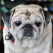 Portrait of cute pug puppy dog — Stock Photo #31981009