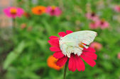 Zinnia with butterfly — Foto Stock