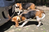 Beagle dogs smelling something — Stock Photo