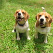 Stock Photo: Beagle puppy dogs sitting on green yard.