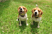 Beagle puppy dogs sitting on green yard. — Stock Photo