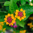 Weeping lantanas — Stock Photo #33531783