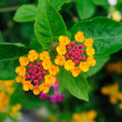 Weeping lantanas — Stock Photo #33915667