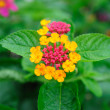 Weeping lantanas — Stock Photo #33918755