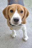 Lovely puppy beagle looking to us — Stock Photo