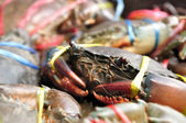 Sea-crabs tied with plastic-ropes — Stock Photo