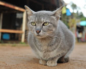 Local gray cat — Stock Photo