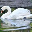 White-swan floating in lake — Stock fotografie