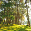 The Misty pine forest  — Stock Photo