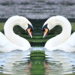 Twin white swans floating in lake — Stock Photo #35280085