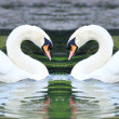 Twin white swans floating in lake — Stock Photo