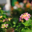 Weeping lantanas in garden — Stock Photo #35698645