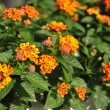 Weeping lantanas in garden — Stock Photo #35698685