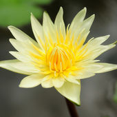 Yellow lotus flower — Stock Photo