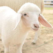 Cute little young sheep — Stock Photo