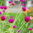 Amaranth in gardening with butterfly. — Stock Photo